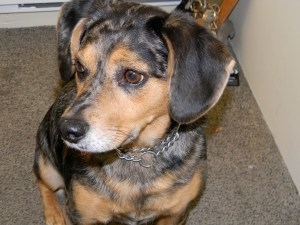 Frances is a mixed breed of Dachshund and Australian Shepherd.