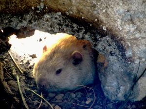 the-real-wiarton-willie-best-300x225